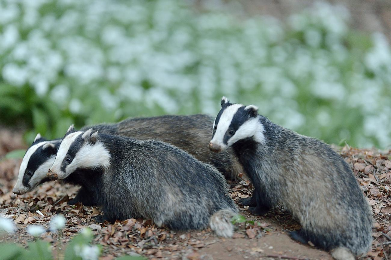 Government authorises largest ever badger cull